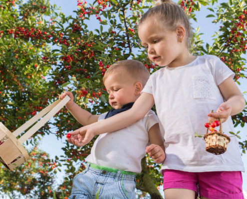 Kids picking cherry on a fruit farm.